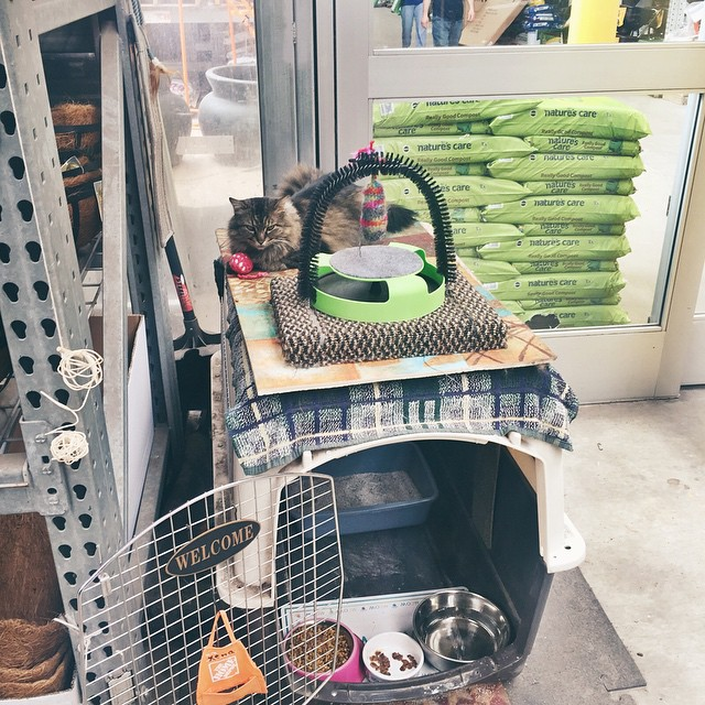 Beautiful Xena the Warrior Kitty lives at my local @homedepot…