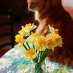 Friday Flowers: Tracy's Daffodils