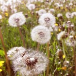In Defense of Dandelions
